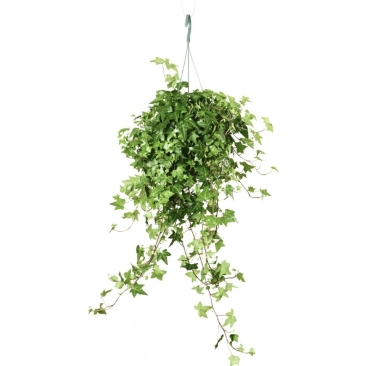 Fake Murgröna